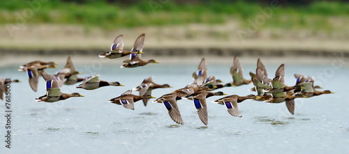 Photo  wild ducks flying over the lake