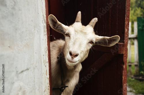 Canvas Print Goat