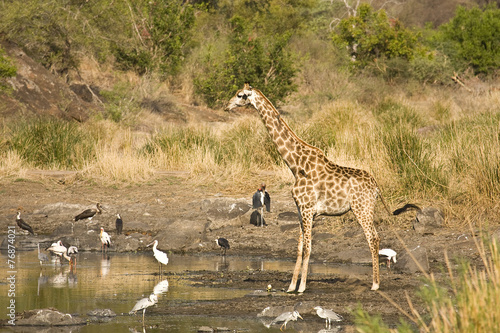 wild giraffe along the river, Kruger, South Africa Poster