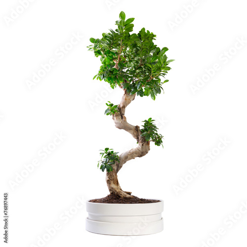In de dag Bonsai Ficus microcarpa ginseng tree isolated on white