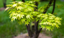 Green Leaves On The Branches Of The Japanese Maple