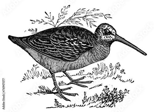 Fotografia, Obraz  19th century engraving of a woodcock pbird