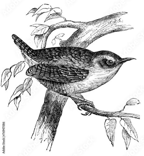 Obraz na płótnie 19th century engraving of a wren