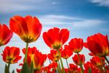 Czerwone tulipany na tle nieba