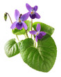 canvas print picture - sweet violet, viola odorata isolated on white background