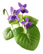 Sweet Violet, Viola Odorata Isolated On White Background