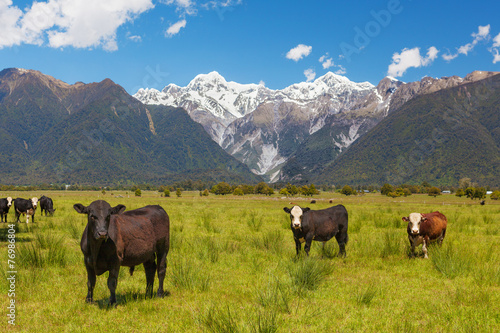 Poster Nouvelle Zélande Grazing cows with Southern Alps in the background, New Zealand