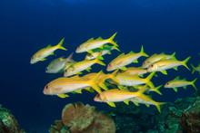 School Of Yellow Goatfish In Ocean