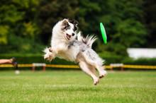 Border Collie Dog Catching Fri...