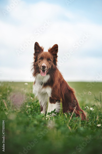 Fotografia, Obraz Red border collie dog sitting in a meadow
