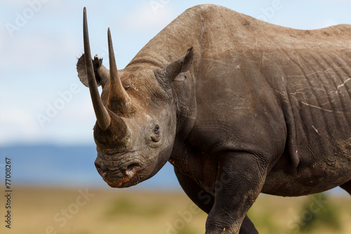 Spoed Foto op Canvas Neushoorn Portait of Black Rhino Karanja