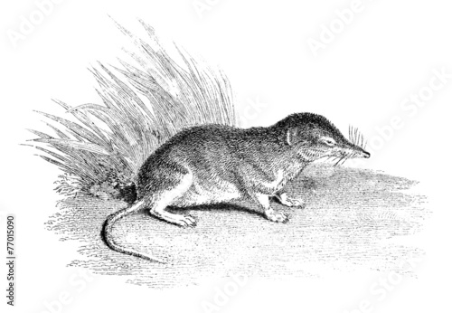 Fotografie, Obraz  19th century engraving of a garden shrew