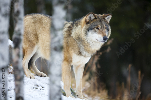 Photo  Wolf standing in the snow