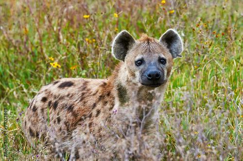 Papiers peints Hyène Spotted hyena frontally