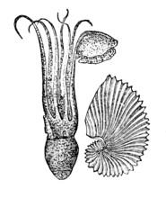 Victorian Engraving Of An Argonaut Octopus.