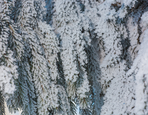 Aluminium Prints Dark grey Fur-tree branches covered by hoarfrost