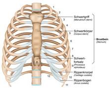 Anatomie Brustkorb, Rippen Mit Beschreibung Deutsch, Latain