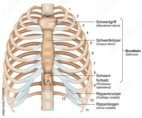 Anatomie Image anatomie brustkorb, rippen mit beschreibung deutsch, latain - buy