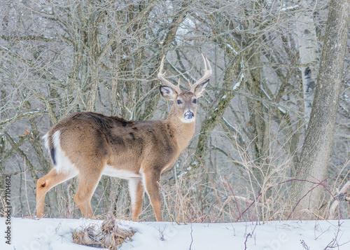 Fotografie, Obraz  Whitetail Deer Buck