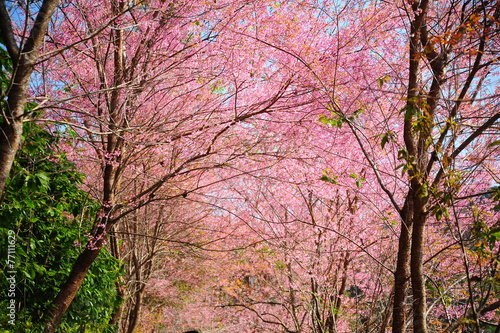 In de dag Candy roze Pink Sakura Flowers in Springtime