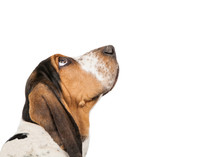 Basset Hound Dog Looking Up Cl...