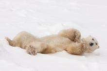 Adult Polar Bear Rolling In Snow