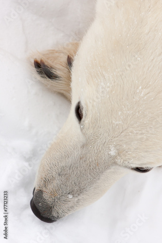 Close Up of Polar Bear Face from Above
