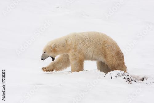 Foto op Plexiglas Arctica Polar Bear Walking in Snow with Mouth Open