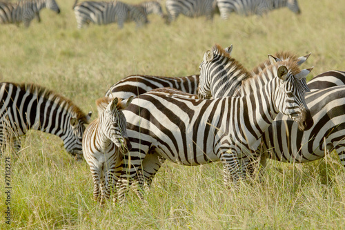 Staande foto Afrika Common zebras with a baby