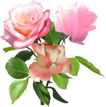 Three Large Light Pink Roses On White