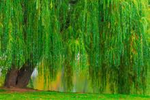 Branchy Green Old Willow Hangi...