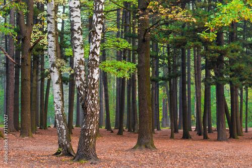 brzozy-w-lesie-mieszanym-o-swicie