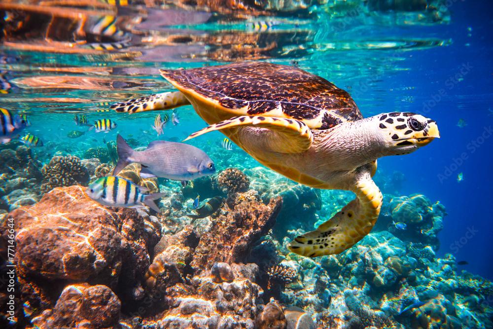 Fototapeta Hawksbill Turtle - Eretmochelys imbricata