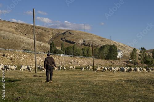 Photo sur Toile Vache Çoban ve Sürüsü