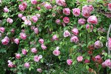 Rose Lijang