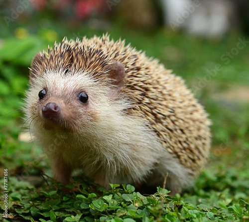 Hedgehog Fototapeta