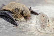 Animal  Bat Nathusius Pipistre...