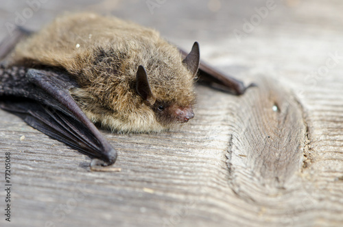 Fotografía  animal  bat Nathusius pipistrelle (Pipistrellus nathusii)