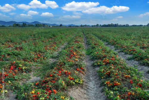 Foto auf Gartenposter Landschappen tomato