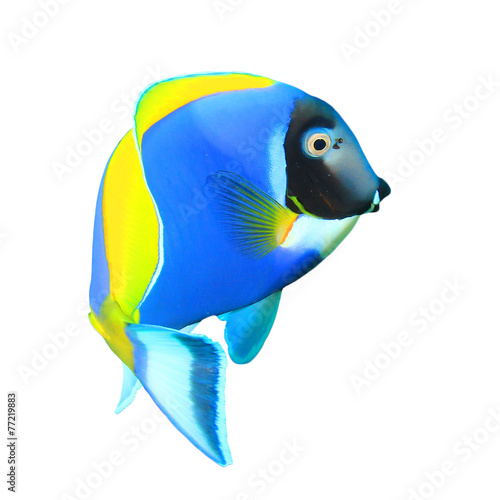 Photo  Powder blue Surgeonfish isolated on white background