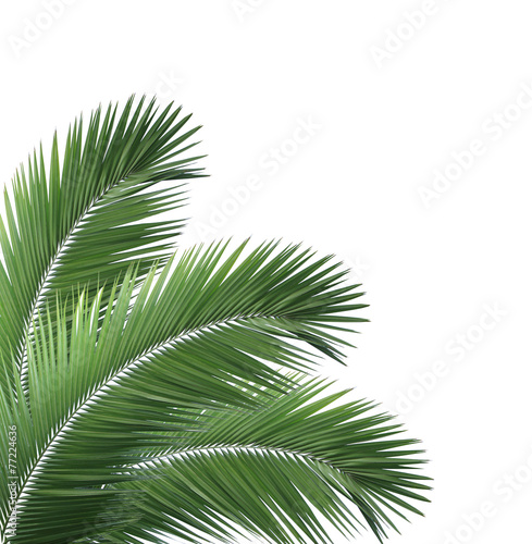 Poster Palmier Green palm leaf isolated on white background