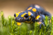 Close Up Of Fire Salamander In...