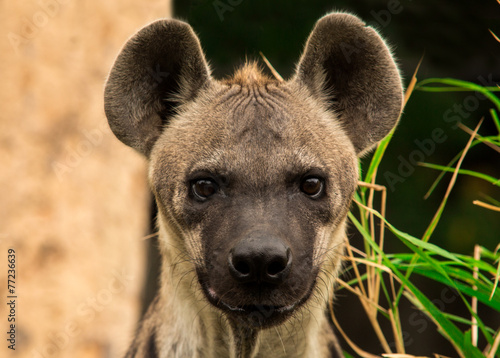 Deurstickers Hyena The spotted hyena. Crocuta crocuta