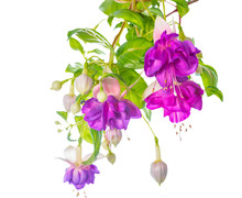 Branches Lilac Fuchsia Flower Is Isolated On White Background, `