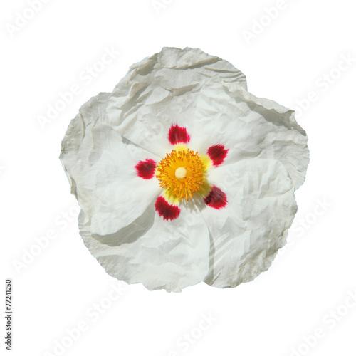 fleur de ciste blanche Canvas Print