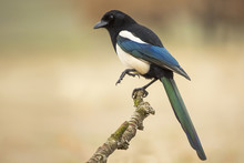Magpie ( Pica Pica ) Perched On A Branch