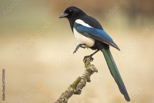 Obraz na plátně Magpie ( Pica pica ) perched on a branch