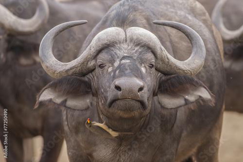 Keuken foto achterwand Buffel Portrait - Red-billed oxpecker and African Buffalo (Buphagus ery