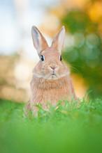 Red Dwarf Rabbit Sitting In The Grass