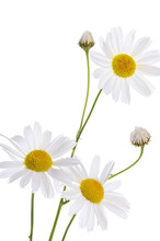 The Beautiful Daisy Isolated O...